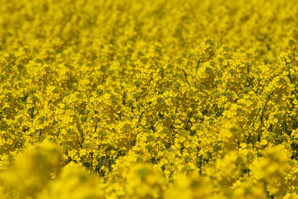 Rapeseed fields on Bornholm