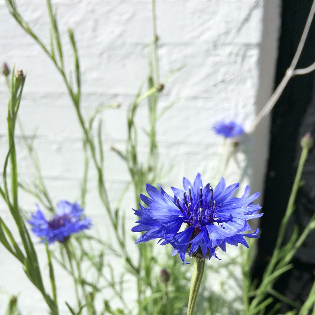 Kornblomst, the cornflower, is my favourite beauty of the island.