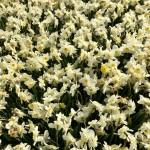 Daffodils... daffodils