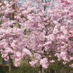 Cherry blossoms in Vesterbro