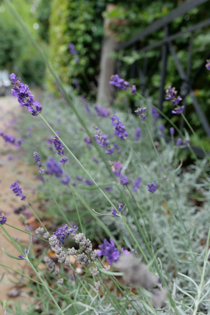 Lavender dreams - you never fail to put a smile on my face