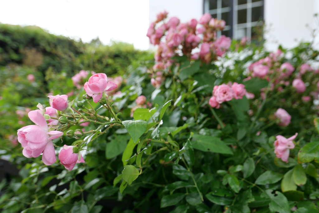 Pretty roses glowing with drops of rain