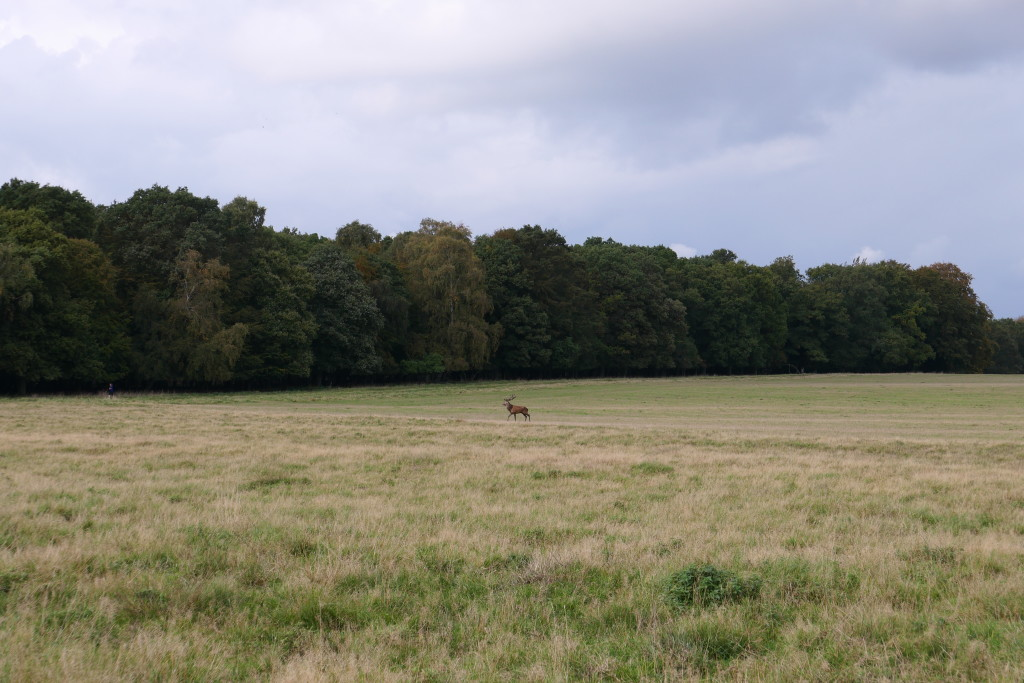 After 2 hours of walking in Dyrehaven, we finally spotted the first deer!